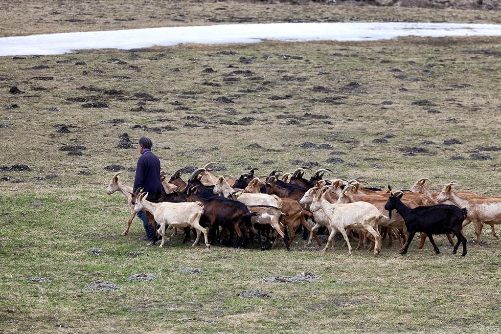 10 fermier et son troupeau alpes 2015 cr2