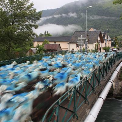 12 transumance pyrenees 2011 145