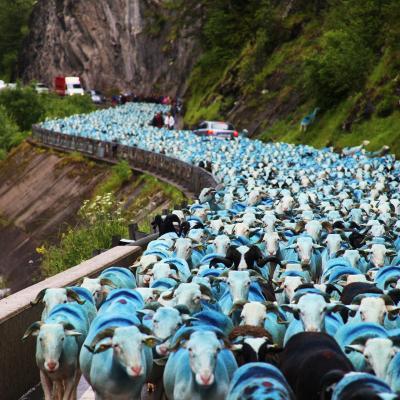 13 transumance pyrenees 2011 3200 moutons