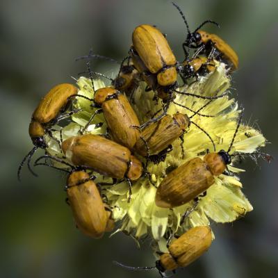 Insectes endémiques