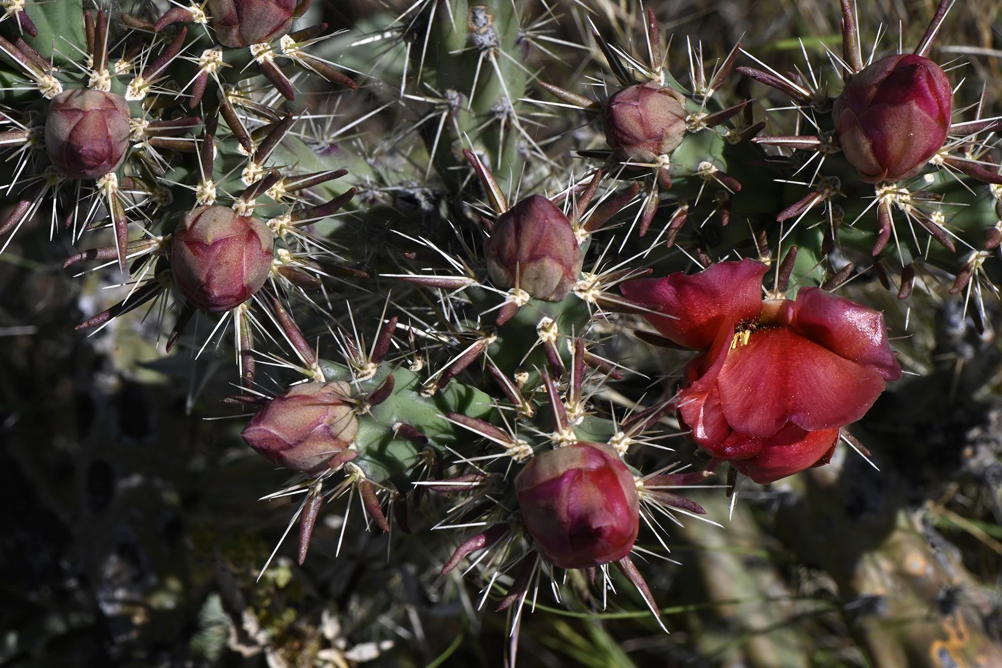 Cactus rouge et ses boutons