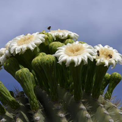 Couronne de fleurs sur un saguaro et ses habitants