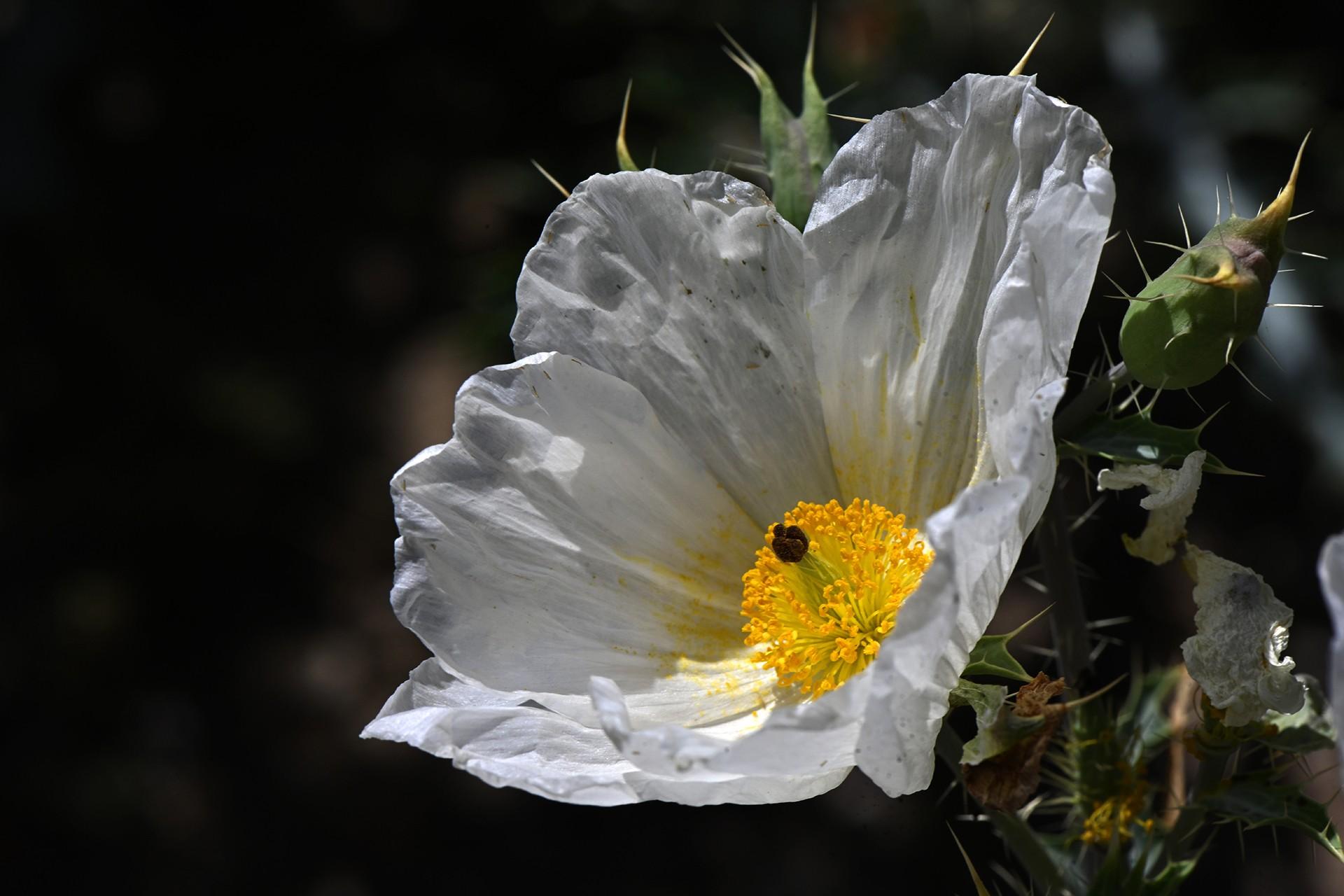 Fleur de chardon 1