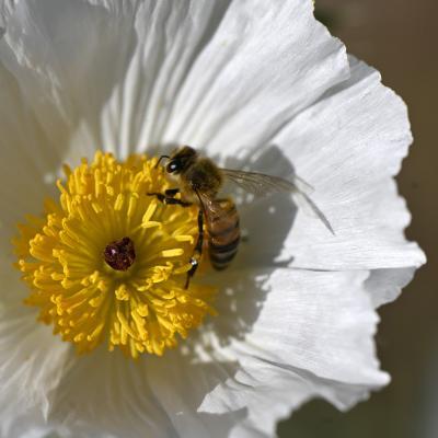 Fleur de chardon et son habitant