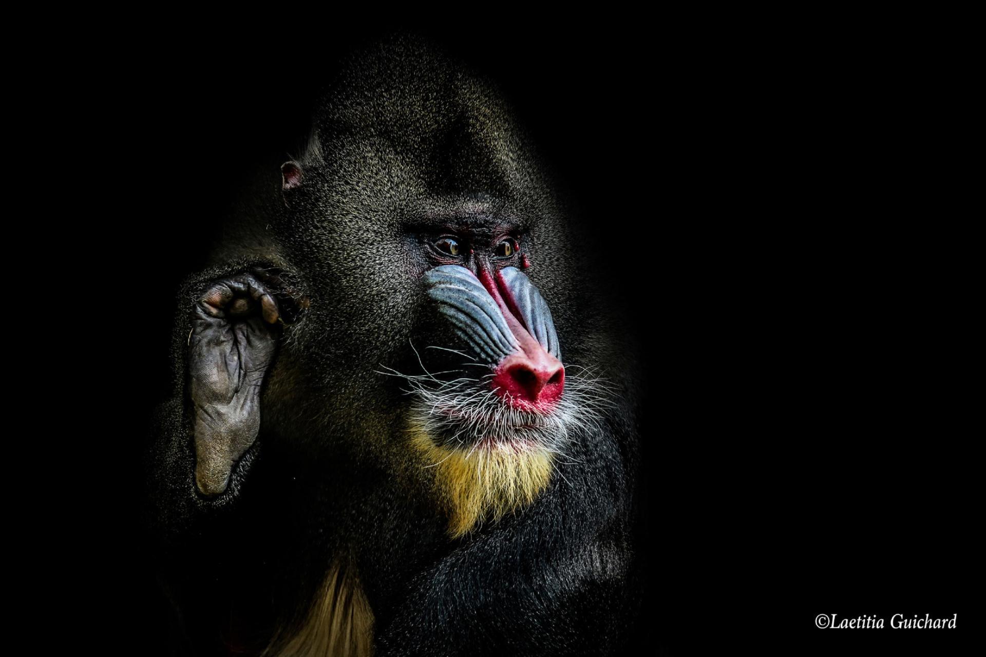 Animaux sur fond noir, de Laetitia Guichard