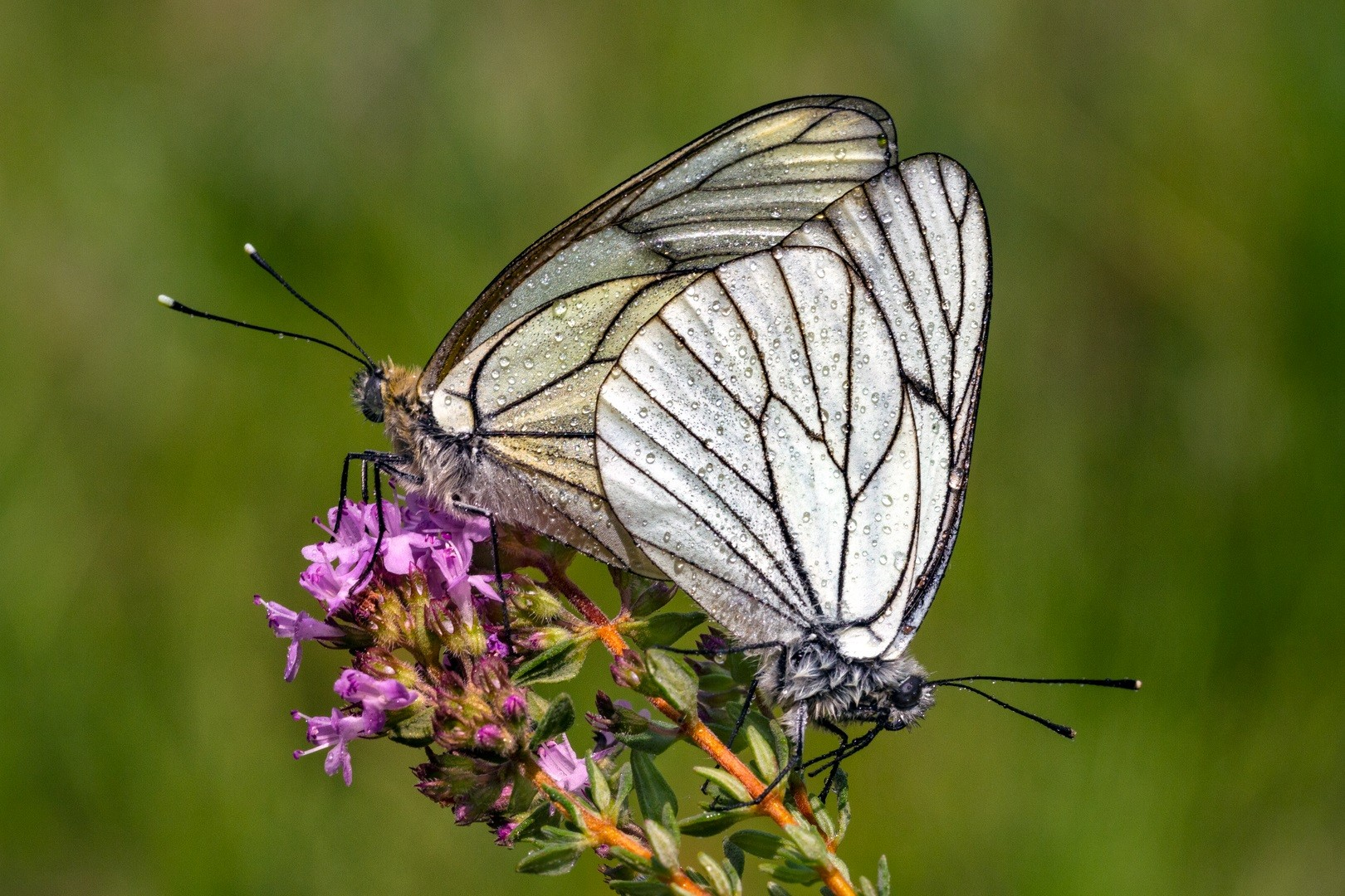 Chich, insectes endémiques