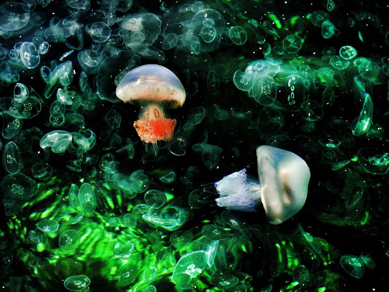Yesiltas Békir, Jellyfish