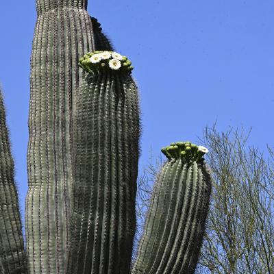 Premier saguaro en fleurs