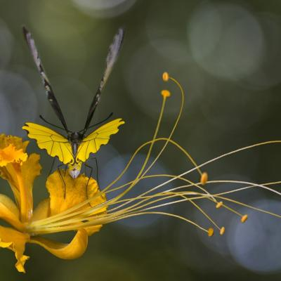 Troides amphrysus male borneo jd tosello copier