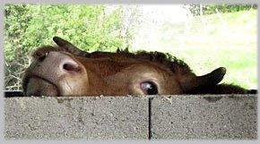 Oeil vache