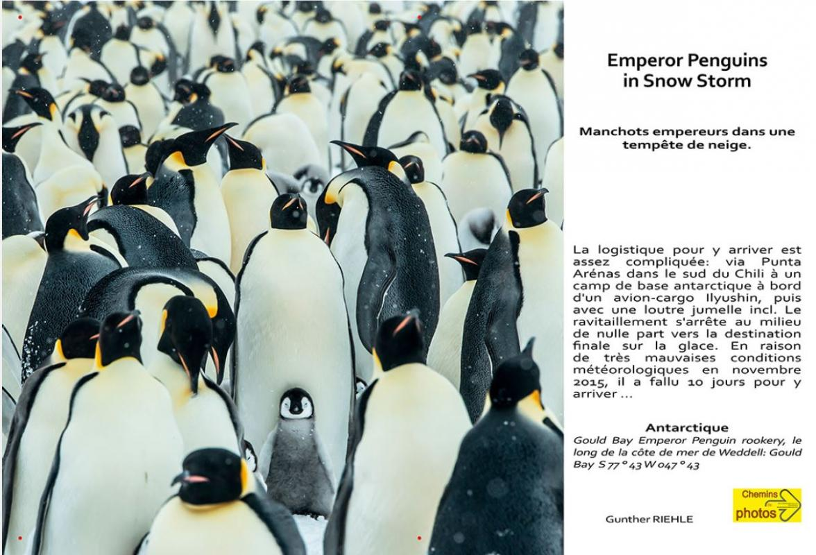 Riehle emperor pinguins